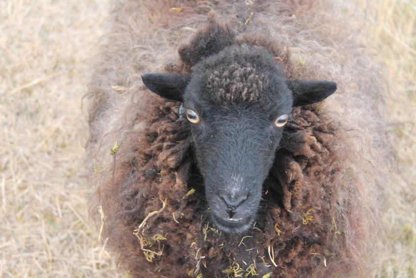 Les services vétérinaires de l'Yonne font la chasse contre l'abattage clandestin d'ovidés