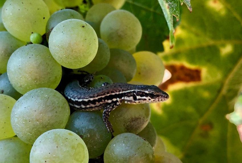 Le vignoble d'Irancy va faire toute la lumière sur le zéro herbicide menant à la biodiversité