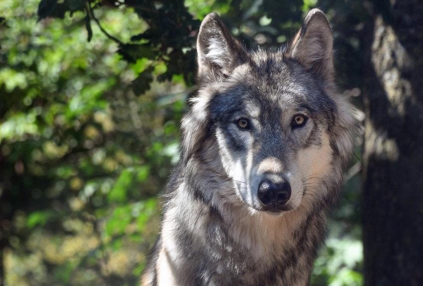 Le loup s'invite à la préfecture : la cellule ad hoc examine le dossier alors que sa présence dans l'Yonne est constatée...