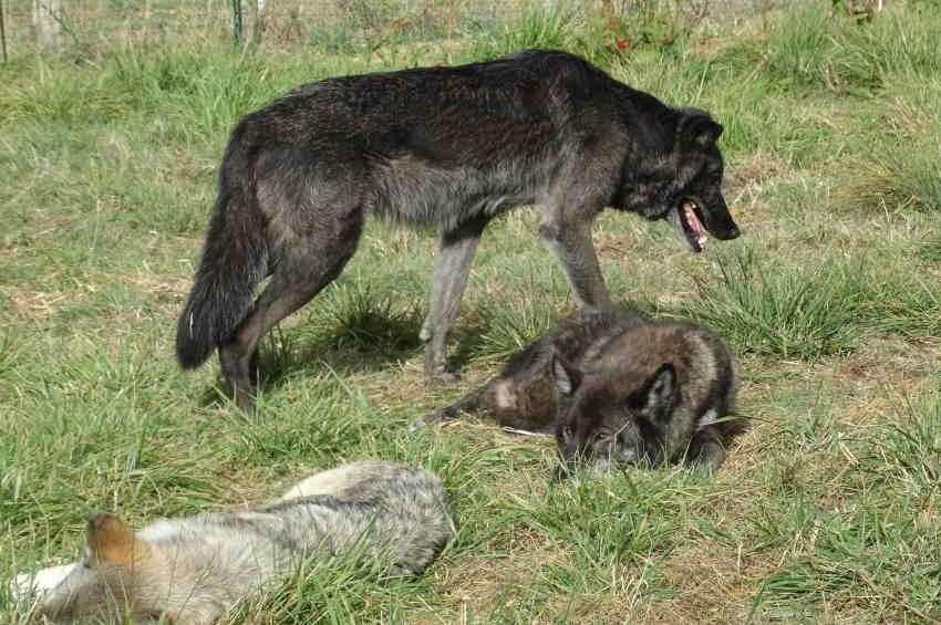 Se familiariser avec le loup pour mieux vaincre ses peurs ?