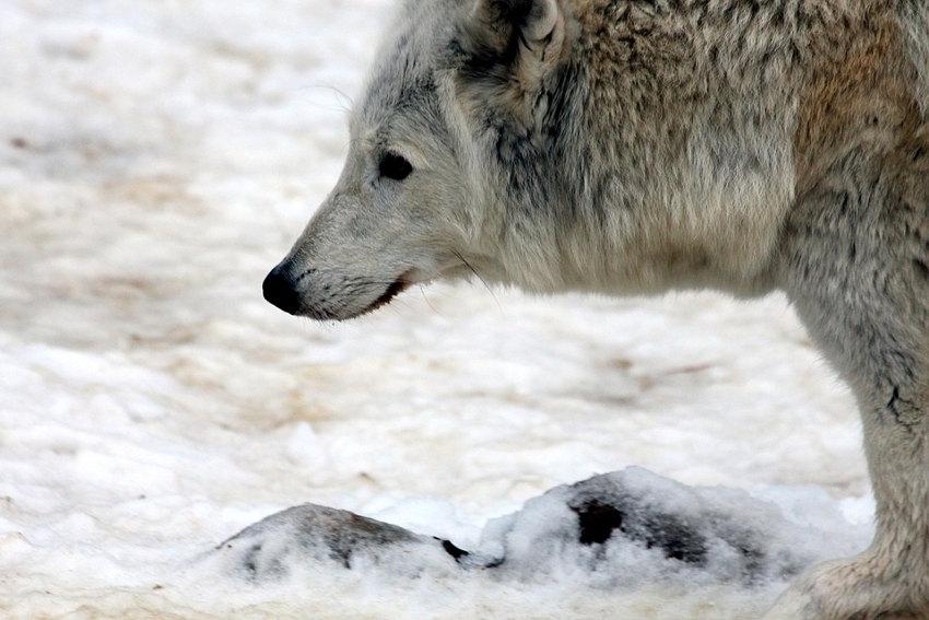 Marie LOBITO : « Deux loups intérieurs se battent en permanence en nous, cultivez votre loup blanc ! »