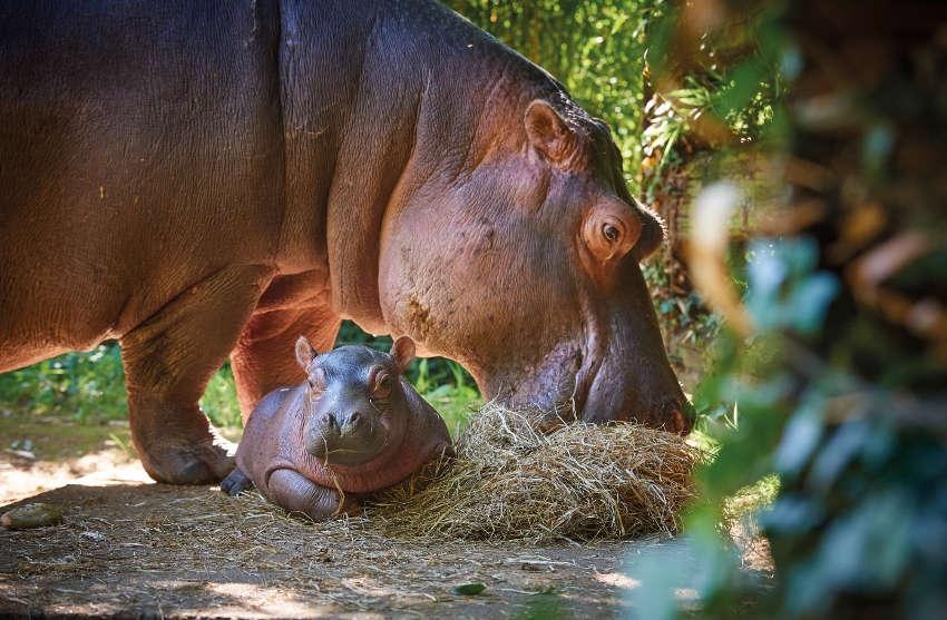 « KIBOKO », nouveau pensionnaire du Zoo de la Flèche, prêt à accueillir les visiteurs cet été !