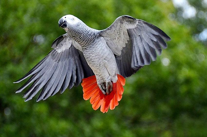 Les propriétaires de perroquets Gris du Gabon doivent se manifester auprès de la DDCSPP…